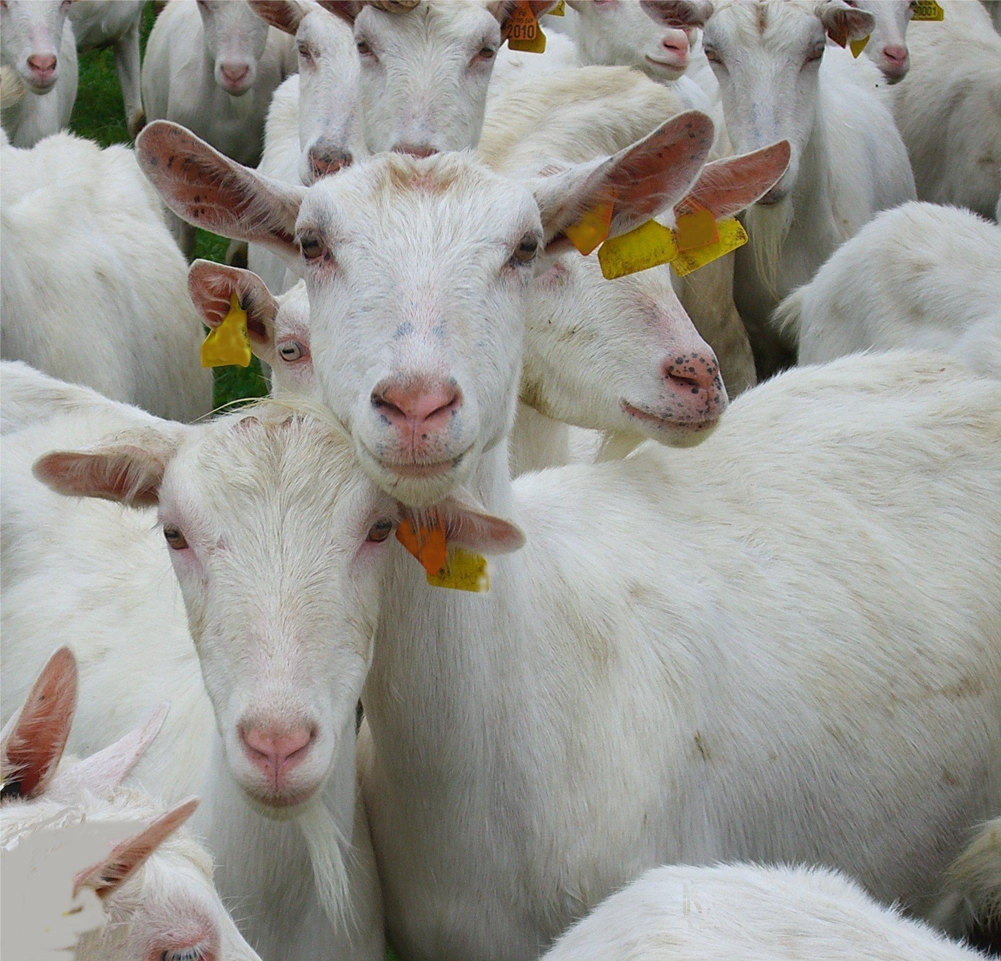 Caprins chambre d 39 agriculture aveyron - Chambre d agriculture d auvergne ...